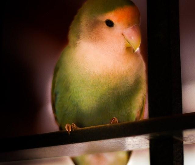 Agapornis Anas C Tags Feather Plumas Bird Pajaro Pajaro Animal Lovebird Inseparable