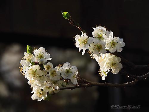 Plum Tree Flower Spring/Szilvafa Virág Tavasz