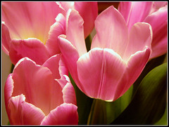 Tulips by F.Scala