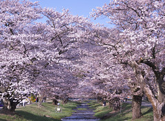 Cherry blossoms of the Kanonji River._A9_9072