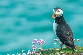 Puffin on the Ledge