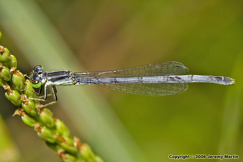 Eastern Forktail by Jeremy Martin
