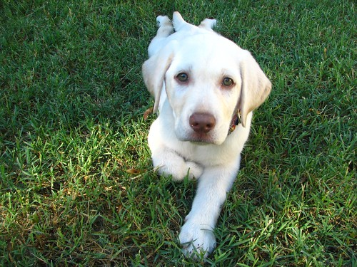 Dudley Lab Puppy