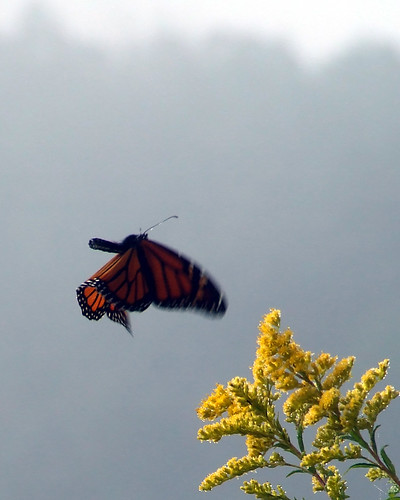 foggy monarch