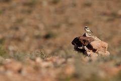 Desert Wheatear | ökenstenskvätta | Oenanthe deserti