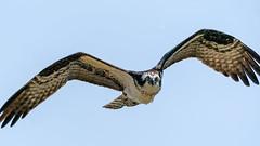 Osprey #83