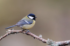Great Tit | talgoxe | Parus major