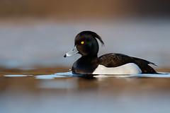 Tufted Duck | vigg | Aythya fuligula
