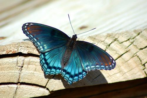 Butterflys dance