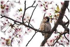 Eurasian Tree Sparrow X Cherry Blossoms