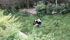 Panda spielt mit einem Ball