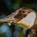 Canada Goose eye contact