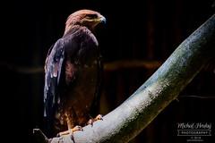 Orel křiklavý (Clanga pomarina)