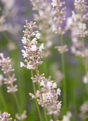 Day 216 | White Lavender