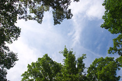 """CRW_8587: Sky and Trees Overhead • <a style=""""font-size:0.8em;"""" href=""""http://www.flickr.com/photos/54494252@N00/12184556/"""" target=""""_blank"""">View on Flickr</a>"""