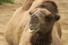 """CRW_8067: Camel • <a style=""""font-size:0.8em;"""" href=""""http://www.flickr.com/photos/54494252@N00/13257556/"""" target=""""_blank"""">View on Flickr</a>"""