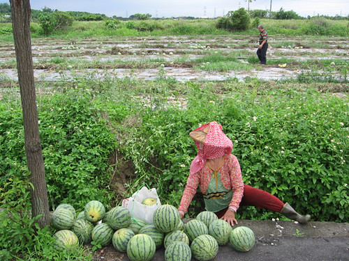 picking watermelons