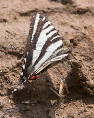 """IMG_5406: Zebra Swallowtail Butterfly • <a style=""""font-size:0.8em;"""" href=""""http://www.flickr.com/photos/54494252@N00/15876963/"""" target=""""_blank"""">View on Flickr</a>"""