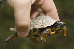Wood Turtle that is tiny little guy