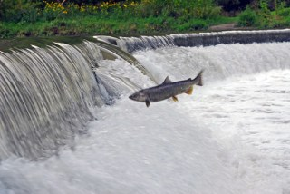 Salmon run on the Humber River - Photo : ZaNiac