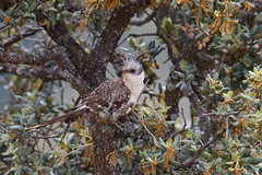 Great Spotted Cuckoo | skatgök | Clamator glandarius