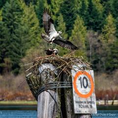 Osprey brings back lunch