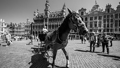 Horse Brussels