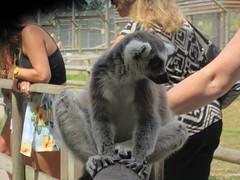 A Lemur Encounter
