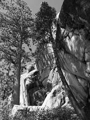 Sierra Trees 5