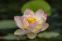 Berlin, Gärten der Welt: Lotosblume - Berlin, Gardens of the World: Lotus flower