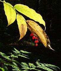 Solomons plume (AKA false Solomons seal) in berry