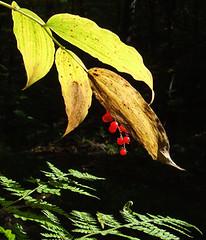 Solomons plume (AKA false Solomons seal) in berry