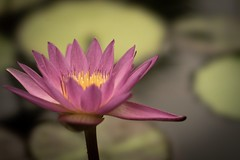 The bokeh of STF G Master  (Water lily)