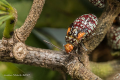 Scentless Plant Bug 6