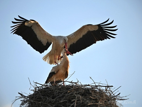 White Stork/A fehér gólya (Ciconia ciconia)