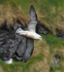 Fulmar Faroes