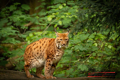 "Eurasian Lynx (Lynx lynx) • <a style=""font-size:0.8em;"" href=""http://www.flickr.com/photos/25741809@N05/27909621628/"" target=""_blank"">View on Flickr</a>"