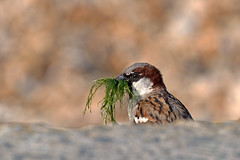 Sparrow collecting for nest