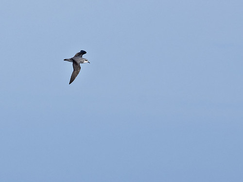 "Cook's Petrel - Eaglehawk Neck pelagic, Tasmania • <a style=""font-size:0.8em;"" href=""http://www.flickr.com/photos/95790921@N07/28404092558/"" target=""_blank"">View on Flickr</a>"