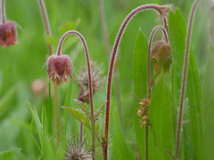 Water Avens.
