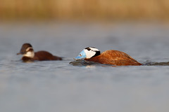 White-headed Duck | kopparand | Oxyura leucocephala