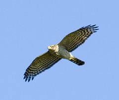 Sparrowhawk (c) Sergey Yeliseev