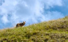 Coyote Montana