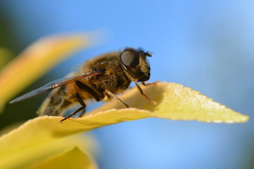 dronefly insect flydayfriday diptera fly hoverfly