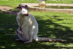 Albino Wallaby and Baby