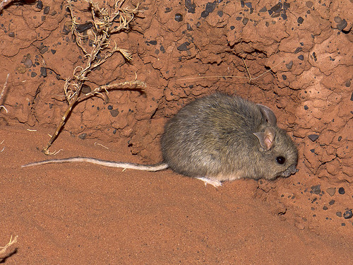 "Plains Mouse - Pseudomys australis - Mac Clarke, NT • <a style=""font-size:0.8em;"" href=""http://www.flickr.com/photos/95790921@N07/41399765784/"" target=""_blank"">View on Flickr</a>"