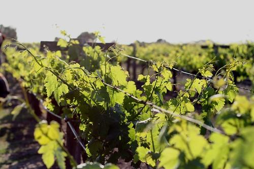 Sun on the vines