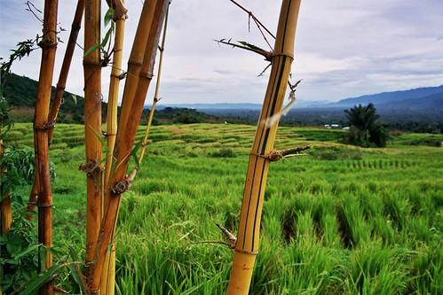 Rice field & Bamboe
