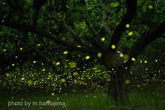 梅の木の周りで踊る姫たち。_K1_17639