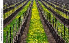Dandelions In The Vineyard